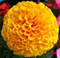 picture of a MariGold